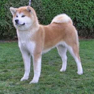 Akita_dog